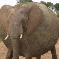 Fat elephant